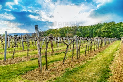 Vineyard in the spring season