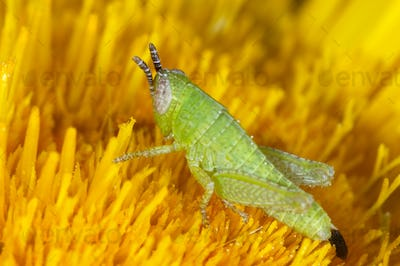 Nymph of Grasshopper