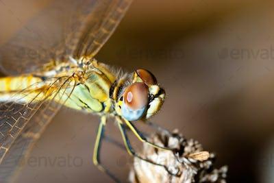 Dragonfly ( sympetrum sp )