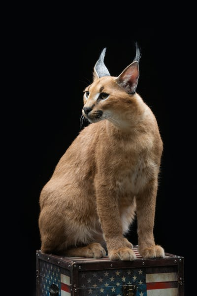 Beautiful caracal lynx over black background