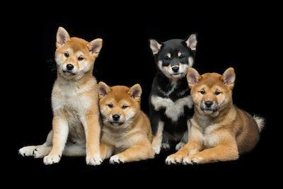 Beautiful shiba inu puppies