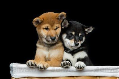 Beautiful shiba inu puppies in basket