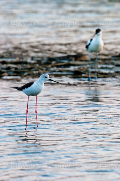 Black-Winged Stilt and Avocet
