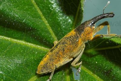Snout beetle ( Lixus angustatus )