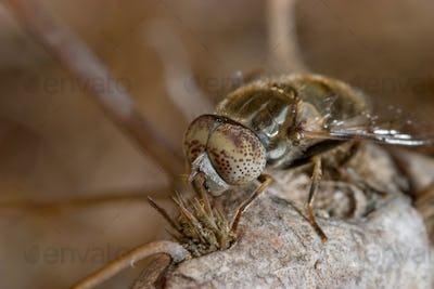 tábano (haematopota pluvialis) - díptero / Horsefly ( haematopota pluvialis ) - dipteron