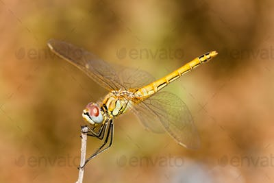 Dragonfly ( sympetrum sp )