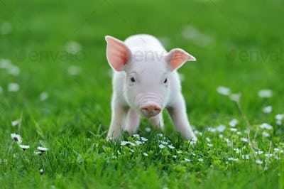 Young pig on grass