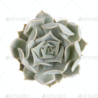succulent plant isolated