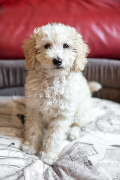 Cute shaggy little cream toy poodle puppy