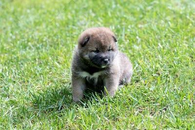 Light brown shiba inu puppy dog