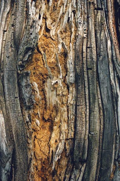 Old maple tree bark texture