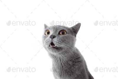 Gray cat looking at camera. Isolated on white background