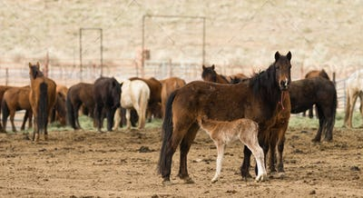 Wild Horses Collected Oregon State Horse Pony Offspring