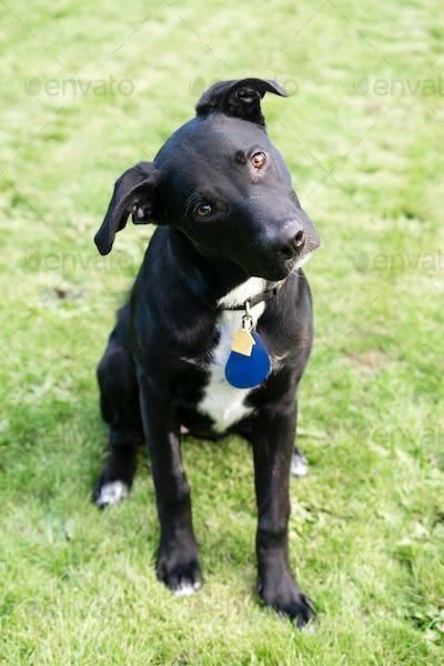 Young Black Labrador Retriever Mix Dog Cocks Head Sideways