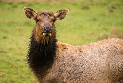 Female Elk Stops Grazing to Look at the Camera