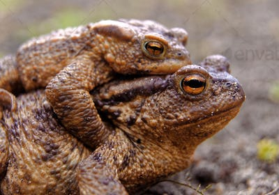 Common toads in the course of the copulation.View from the side