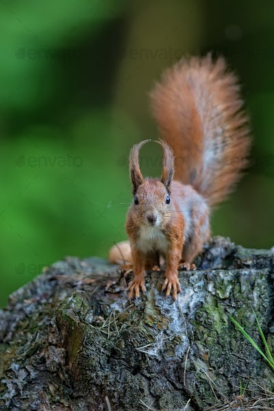 Red squirrel in the wild