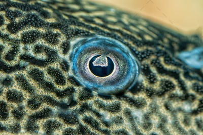 Detail of eye of suckermouth fish
