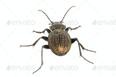 Beetle (Carabus ullrichii) on a white background