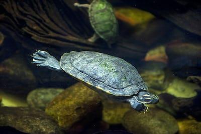 Sea turtle in an aquarium