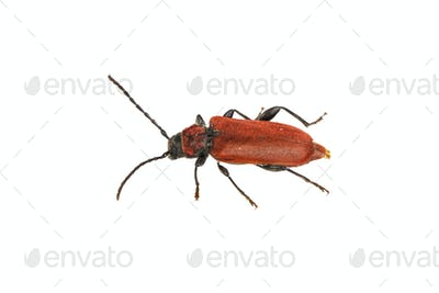 Rusty beetle on a white background