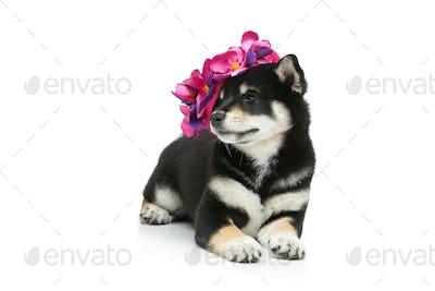 Beautiful shiba inu puppy in pink hat