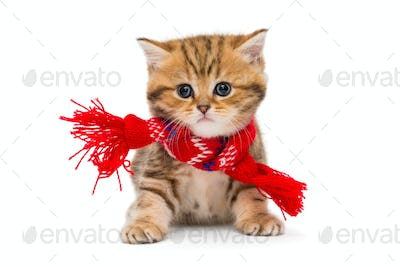 Little kitten British marble in a red scarf