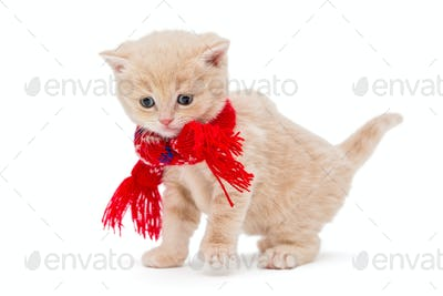 Kitten breeds British  in a red scarf