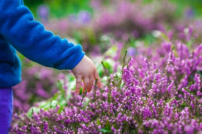 Picking up purple Loosestrife Flowers