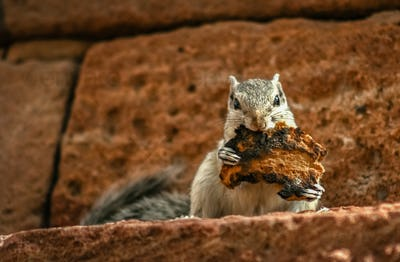 Grey squirrel eating toast