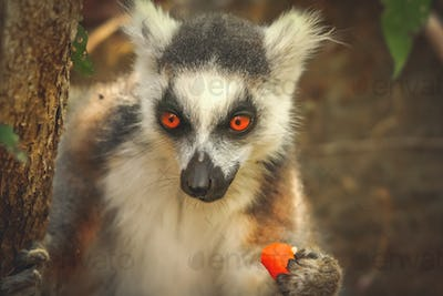 Lemur eating orange skin