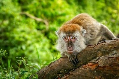 Indonesian Macaque monkey