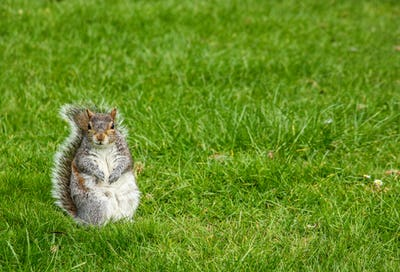 Squirrel In a Grass