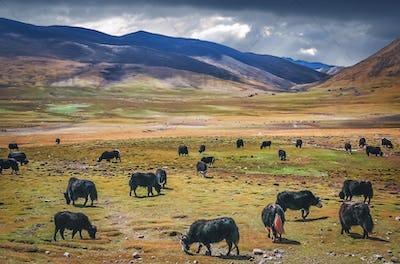 Large Yak herd grazing  in Himalaya