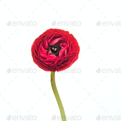 Ranunkulyus red flower on a white background