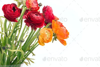Ranunkulyus bouquet of red flowers on a white background