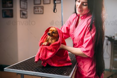 Pet groomer wipes little dog with a towel