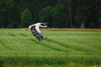 Stork flying on grass field