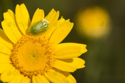 Green tortoise beetle on yellow daisy.