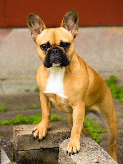 French Bulldog Pure Breed Canine Dog Animal Frenchie