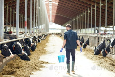 man with bucket walking in cowshed on dairy farm