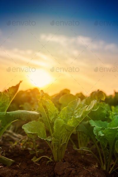 Young sugar beet crops growing in field