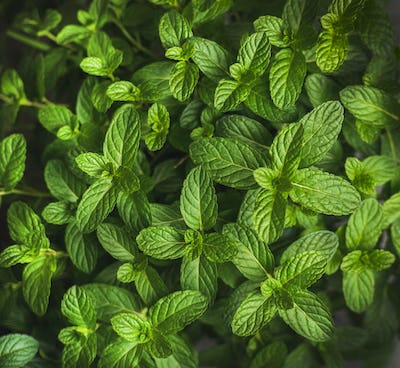 Fresh green pepper mint leaves texture, background or wallpaper