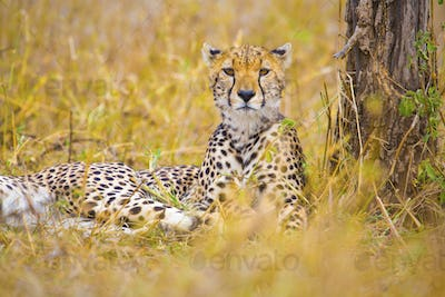 One beautiful cheetah rests at the savannah in Serengeti