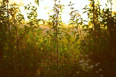 Nettle plant against the light in the sunset light