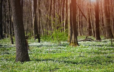 Flowering anemones in forest at springtime