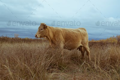 Lonely cow a field on delta of river Evros Greece