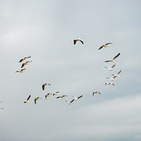 Flocks of pelicans flying in the air on Greece