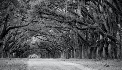 Row of oaks on American Southern plantation