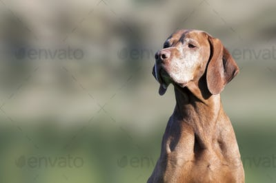 Beautiful old dog